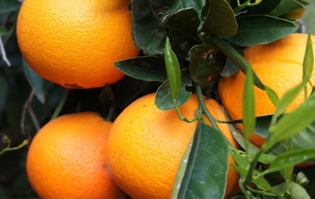 10kg de naranjas del rbol a tu casa descuento 21 15 - Naranjas del arbol a la mesa ...
